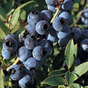 Brunswick Blueberries