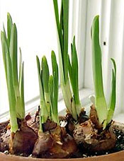Bulbs in Container