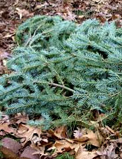 Christmas tree boughs