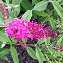 Butterfly Bush 'Miss Ruby'