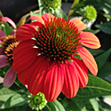 Echinacea 'Sombrero Flamenco Orange'