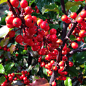 Holly 'Berryific'