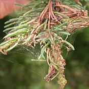 Spruce Budworm Damage