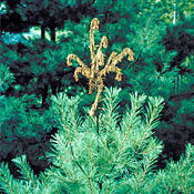 White Pine Weevil Damage