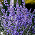 'Lacey Blue' Russian Sage