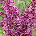'Declaration' Lilac