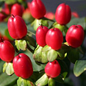 'Red Fame' Hypericum