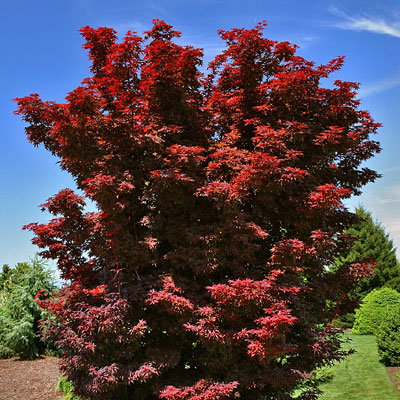 Acer pal. 'Twombly's Red Sentinel'