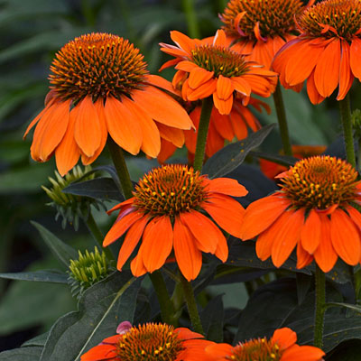 Echinacea purpurea 'Sombrero Adobe Orange'