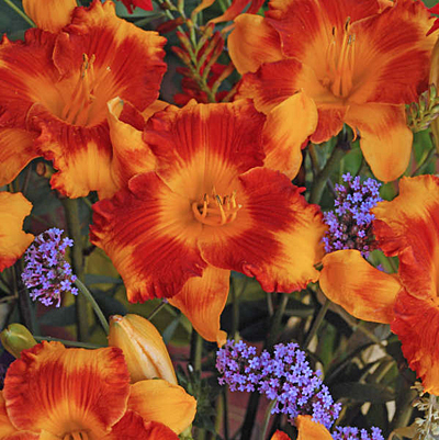 Hemerocallis 'Adorable Tiger'
