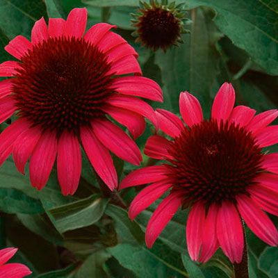 Echinacea x 'Big Sky After Midnight'