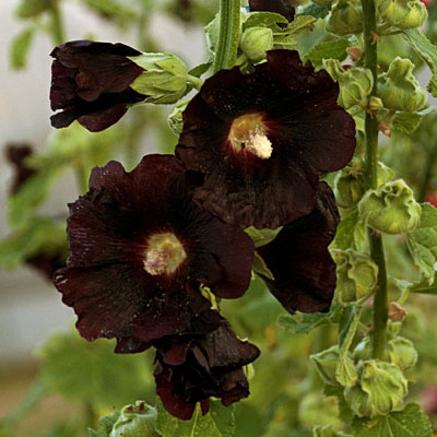 Alcea rosea 'Blacknight'