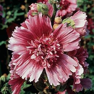 Alcea rosea 'Queeny Purple'