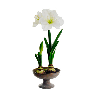Amaryllis in Footed Plate