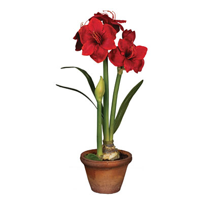 Amaryllis in Pot - Red