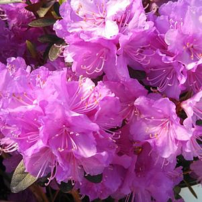Rhododendron 'Amy Cotta'