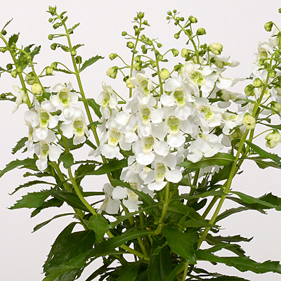 Angelonia 'Archangel White'