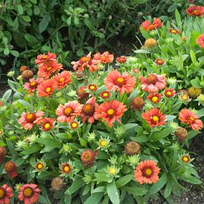 Gaillardia a. 'Arizona Red'