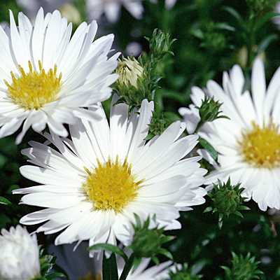 Aster 'Puff'