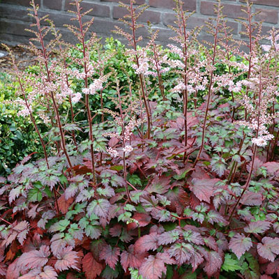 Astilbe x 'Color Flash'