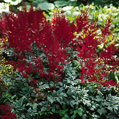 Astilbe arendsii 'Glow'
