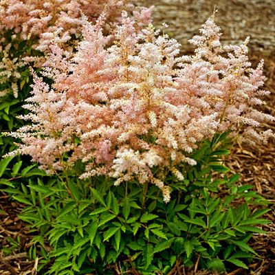 Astilbe x 'Short-n-Sweet Sugarberry'