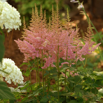 Astilbe c. 'Visions in Pink'