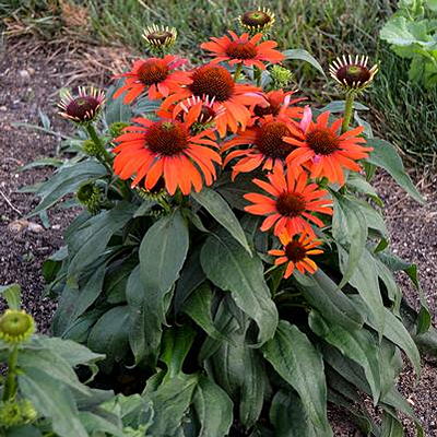 Echinacea x 'Eye-Catcher Atomic Orange'