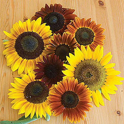 Seeds - Sunflower 'Autumn Beauty'