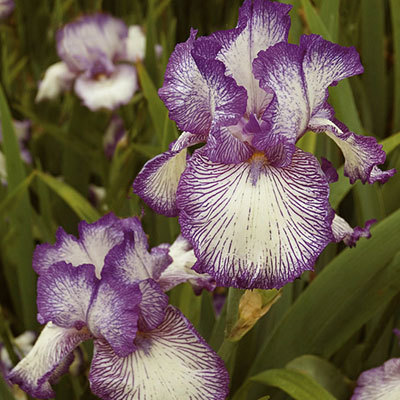 Iris germanica 'Autumn Circus'