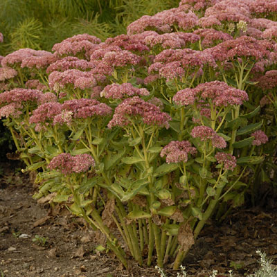 Sedum spect. 'Autumn Delight'