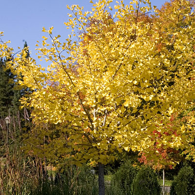 Ginkgo b. 'Autumn Gold'