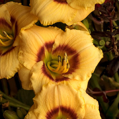 Hemerocallis 'Baby Moon Cafe'