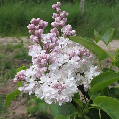 Syringa v. 'Beauty of Moscow'