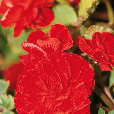 Begonia 'Nonstop Red'