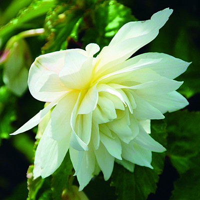 Begonia 'Belleconia Snow'