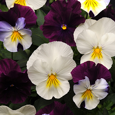 Pansy 'Cool Wave Berries N Cream Mix'