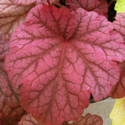Heuchera x 'Berry Smoothie'