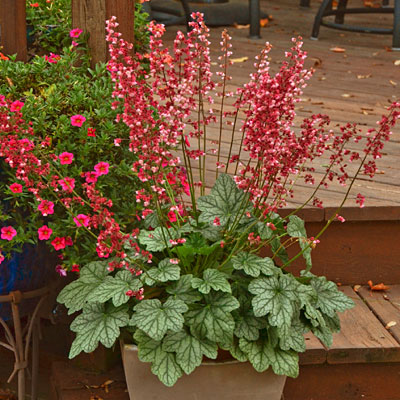 Heuchera x 'Berry Timeless'