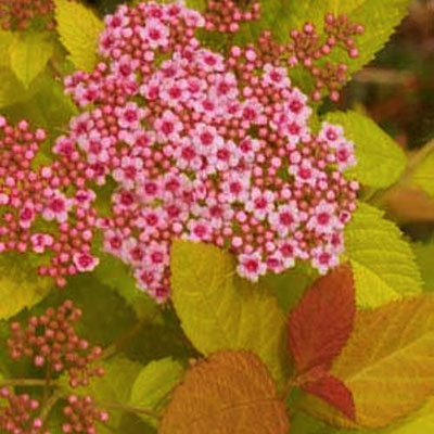 Spiraea j. 'DP Big Bang'