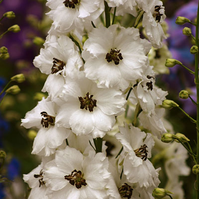 Delphinium e. 'Black Eyed Angels'
