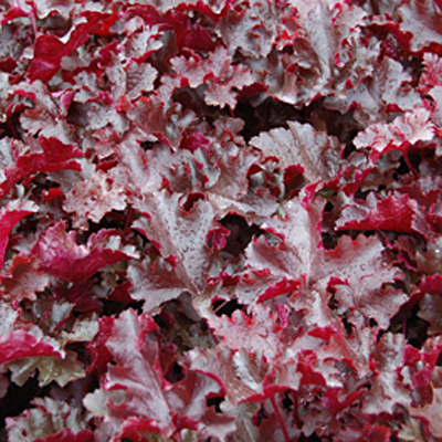 Heuchera x 'Black Beauty'