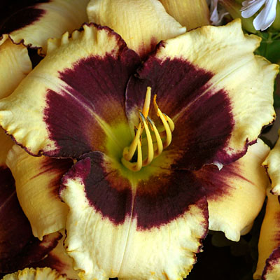 Hemerocallis 'Blackthorne'