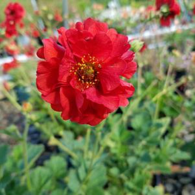 Geum chiloense 'Double Bloody Mary'