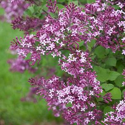Syringa x 'Bloomerang Dark Purple'