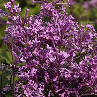Syringa x 'Bloomerang Purple'