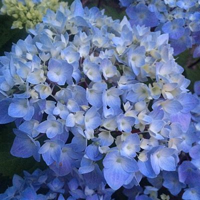 Hydrangea m. 'Blue Enchantress'