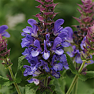 Salvia n. 'Blue Marvel'