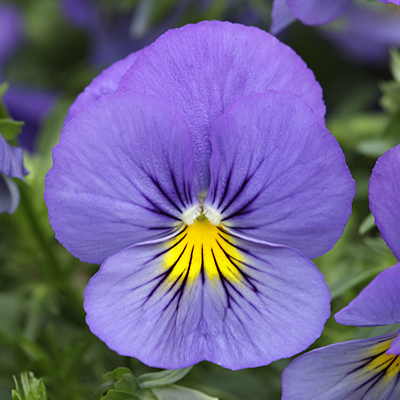 Pansy 'Cool Wave Blue Skies'