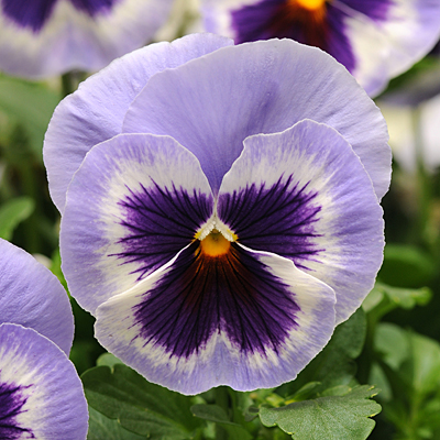Pansy 'Spring Matrix Blue Wing'